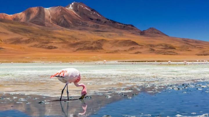 Flamingo posing in Chile's Salt Flats