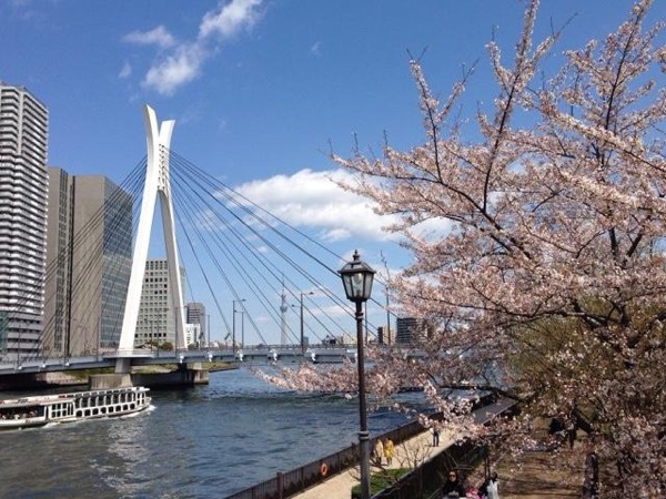 Private Cherry Blossoms Viewing by Sumida River