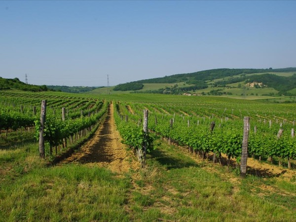 Wine tasting in Etyek - half day tour