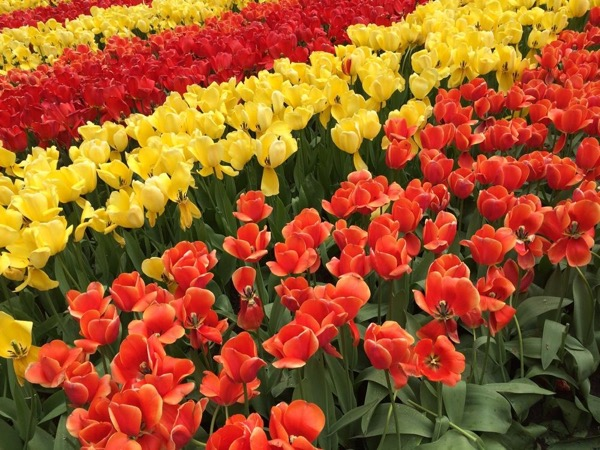 2020: Tulips and more (full day/9 hours private tour)