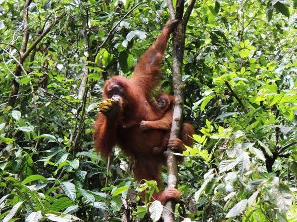 Orangutan Jungle Trekking