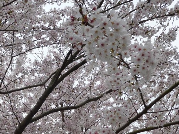 Cherry blossom viewing tour in Fukuoka city