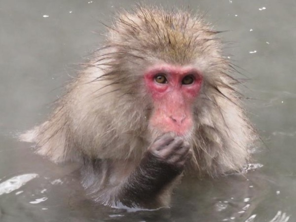 See the Snow Monkeys in Nagano