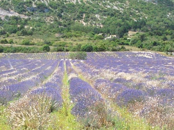 Lavender Road - Aix en Provence and l'Occitane factory - Private tour - 8 hours