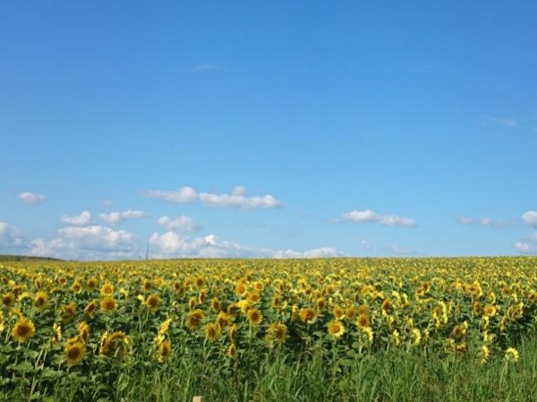 Hokuryu Sunflower Park 20 July-15 Aug