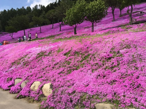 Moss Phlox and tulip blooming experience - Available in Hokkaido in May Only