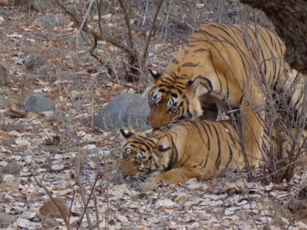 Jaipur and the Tigers (2 days tour)