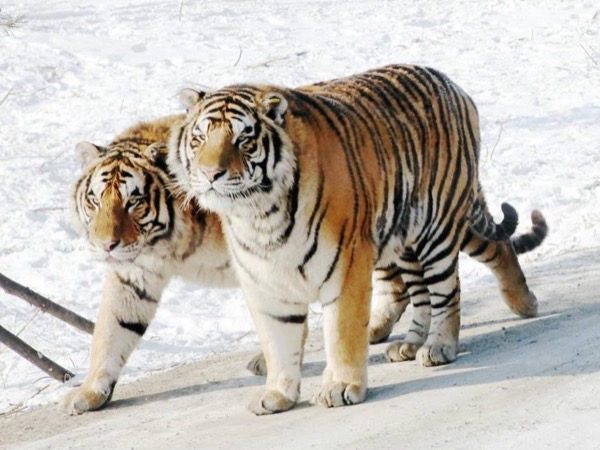 One Day Private Tour of Harbin Siberian Tiger Park, Snow Fair on Sun Island, and Ice and Snow World