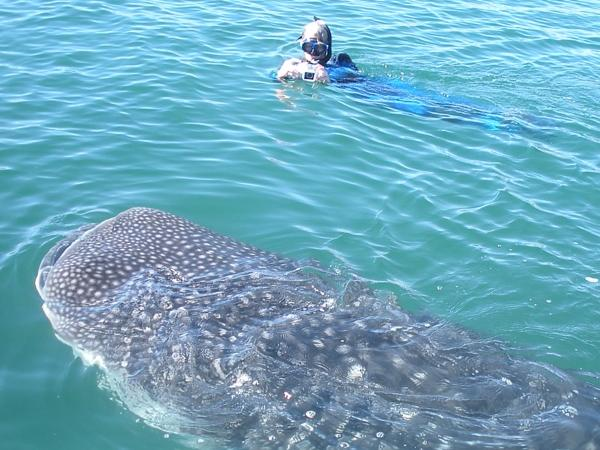 Shore Excursion: Swimming with Whale Sharks from La Paz