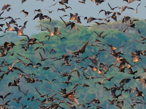 Tour of Worlds' Biggest Bat Migration - Kasanka National Park Zambia