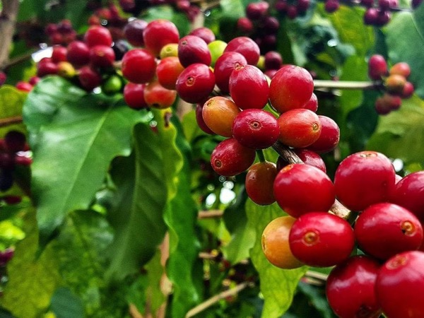Coffee Plantations Tour from San Juan