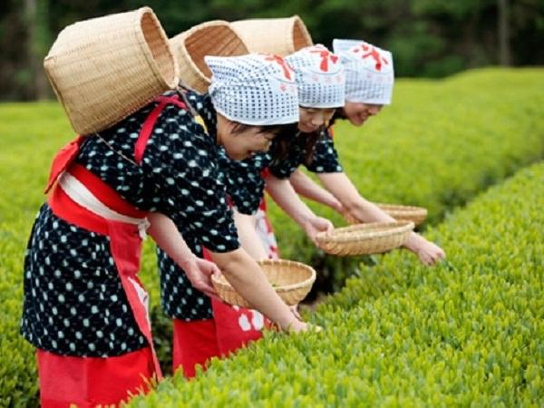 Seasonal Tour! Teapicking with a great view of Mt.Fuji, closest tea field from Tokyo