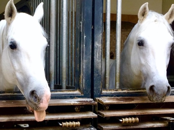 For horse lovers: Lipizzaner - The White Stallions in Vienna