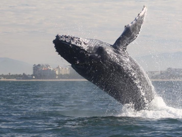 Respectful Whale Watching in Puerto Vallarta