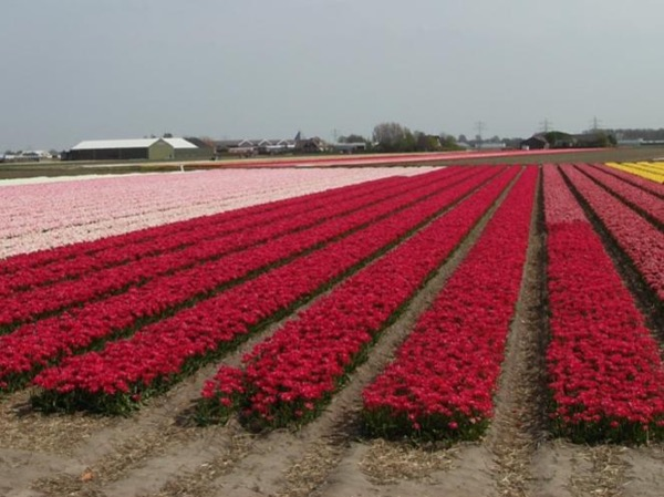 Half-Day Amsterdam and Flowerfields Private Tour