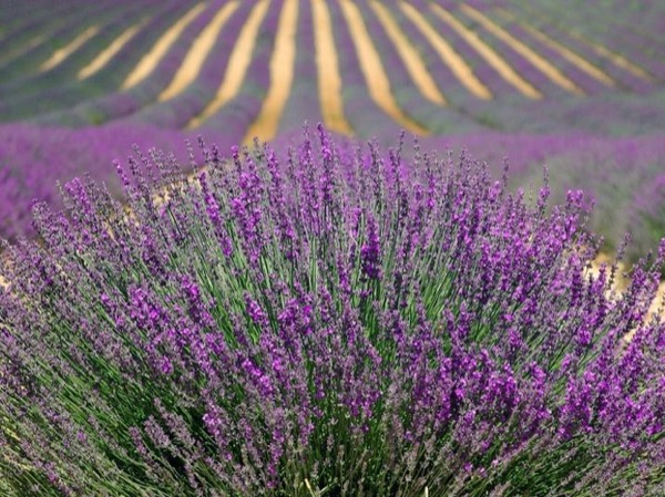 Lavender road tour - Pays de Sault (only from Mid June to Mid August)