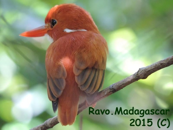 Madagascar tour for Birdwatching people, THE BEST sites for it
