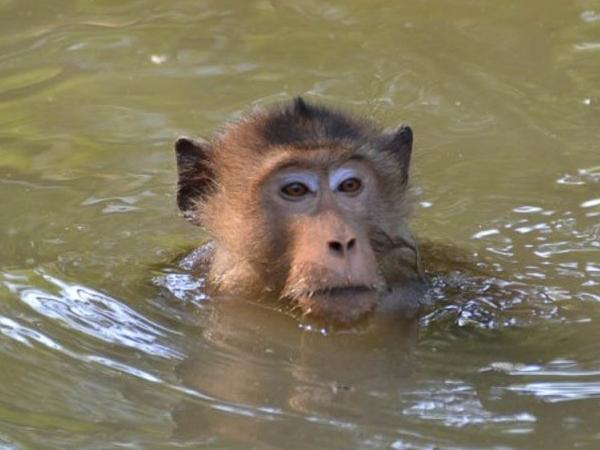 Swimming with the Monkeys in the mangrove forest with combination of Ampawa District