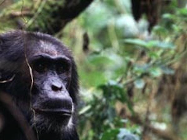 Befriend a Chimpanzee Private Guided Tour