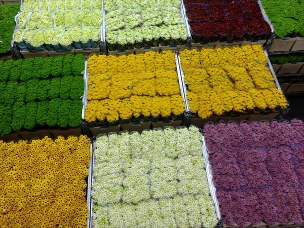 Early morning Aalsmeer Flower Auction and Cheese Farm Tour