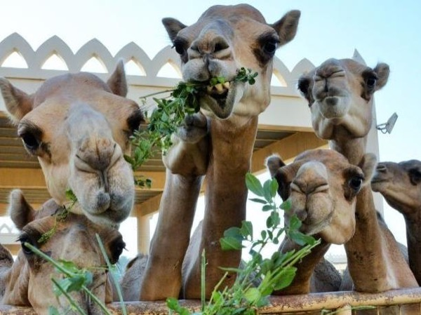 Bahrain Black Gold and Camel Riding