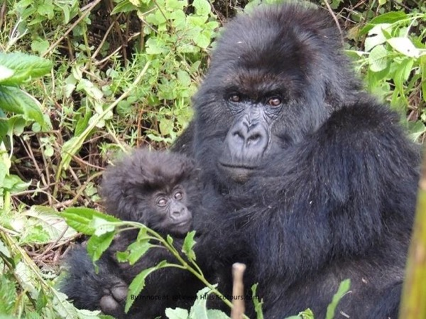 Gorilla Trekking in Rwanda - Visit Volcanoes National Park