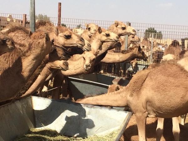 Camel Souk Visit - Full day Al ain tour