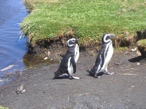 Penguins excursion at National Reserve of Chiloé Island, Patagonia - Chile