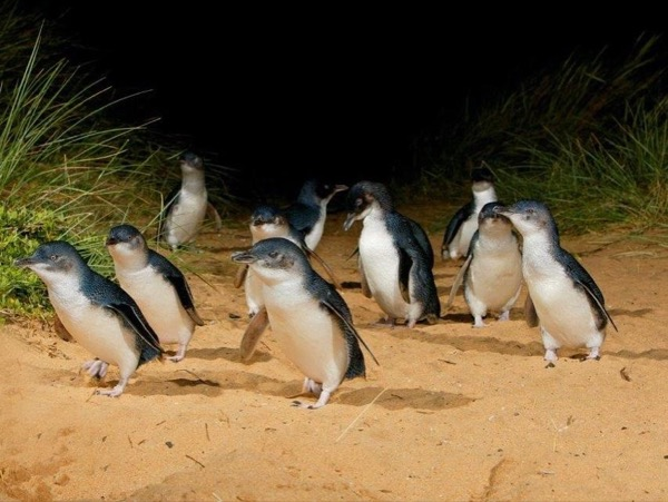 Phillip Island, Koalas and Penguins Private Tour