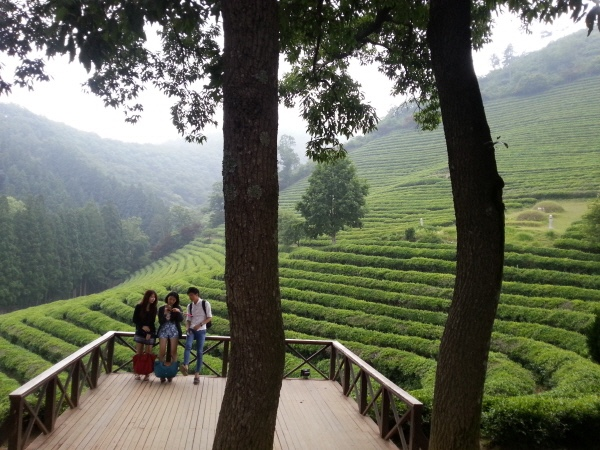 Boseong + Hadong Green Tea Field Plantation tour