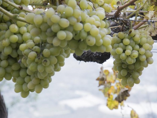 The green pearls tour: Almería table grape history